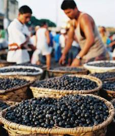Acai berries being picked in Brazil